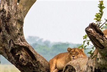 Viaje Lujo Uganda - Leones Trepadores Queen Elisabeth Park