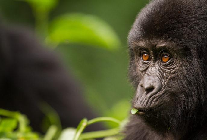 Viaje de Lujo a Uganda Gorilas de Montaña especial Puente de Diciembre